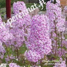 Perennat Täpläleimu Phlox maculata 'Natascha'