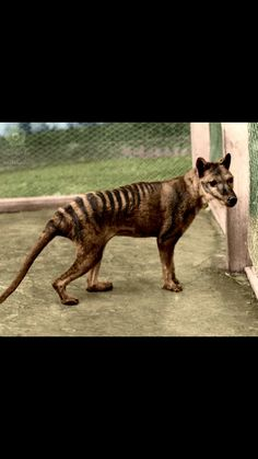 The Tazmanian Tiger P.S. RIP the best in the animal world$