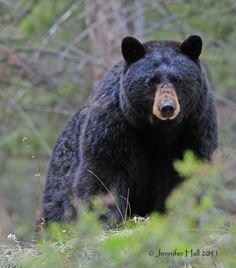 Black Bear by Jen Hall Animal Games, My Animal, Panda Bear, Polar Bear, Animals Beautiful, Cute Animals, Large Animals, Bear Species, Endangered Species