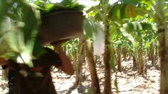 Martin & Ketil fortæller om Fairtrade bananer - Meget underholdende!