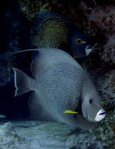 A French angelfish and a gray angelfish hanging out. Underwater Creatures, Underwater Life, Ocean Creatures, Saltwater Angelfish, Saltwater Aquarium Fish, Colorful Fish, Tropical Fish, Beautiful Sea Creatures, Salt Water Fish