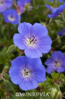 "Rozanne Geranium This is a definite ""go-to"" plant for us. Folks delight in it's easy care and seemingly endless blooms. Cranesbill Geranium, Hardy Geranium, Blue Geranium, Hardy Perennials, Flowers Perennials, Growing Flowers, Planting Flowers, Flower Gardening, Horticulture"