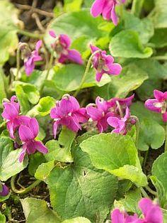 Viola odorata 'Red Charm'