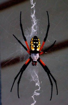 """Black-and-yellow Argiope. They come in so many colors and reach impressive sizes! They create vibrate webs when they feel threatened. The ziggy zag pattern in their web is their """"shady porch"""" in the hot summer sun."""