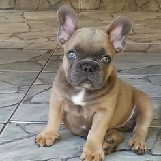 French Bulldog with Bright Blue Eyes