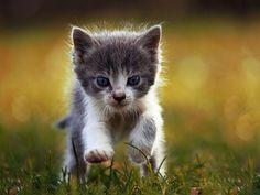 Szaro-biały kotek