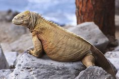 Galapagos Islands, Ecuador. The unique and intriguing wildlife is what draws most visitors. Some of the most unique and amazing creatures include  Marine Iguanas, Galapagos Tortoises, Galapagos Sea Lions, Galapagos Penguins and the Blue Footed Booby.