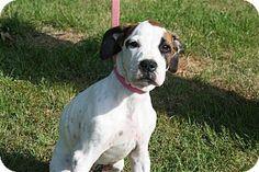 Conway, AR - Boxer. Meet Duke, a puppy for adoption. http://www.adoptapet.com/pet/10869902-conway-arkansas-boxer