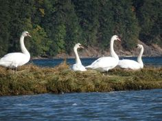Swans on Vancouver Island - from the Images of Victoria Collection