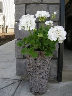 Houseplants for Better Sleep White Geraniums Summer Flowers, White Flowers, Beautiful Flowers, Container Plants, Container Gardening, Geranium Plant, Pot Jardin, Pot Plante, Moon Garden