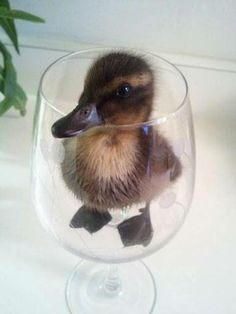 Duckling in a glass. lol