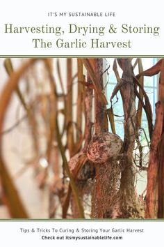 """Garlic! In my opinion, garlic is one of the most used """"flavorings"""" in our kitchens.  And one of the easiest crops to learn how to grow, harvest, dry, and store for year-round use. 
