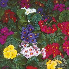 √     Primula Wanda mixture