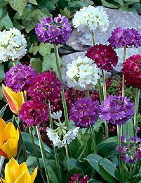 primula denticulata Primula Denticulata, Perennials, Flora, Walks, Plants, Deck, Gardening, Beautiful, Front Porches