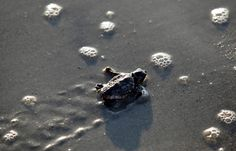 A Loggerhead turtle hatchling makes its way to the surf at Myrtle Beach state park, in South Carolina. Habitats that could save threatened loggerhead sea turtles from extinction were identified by the US government along 750 miles of Atlantic and Gulf Coast shorelines in six states | image Randall Hill