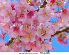 A bee with pink cherry blossoms and blue sky on spring season in Japan.