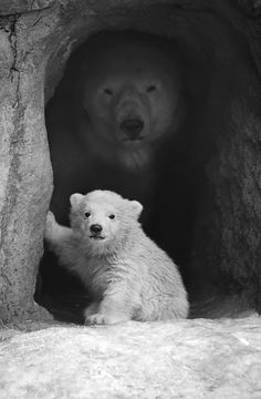 Polarbears Vicks and Mother Olinka. Vicks Born 6 December, 2010 in Rotterdam. S)