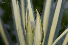 Flower stem of yucca filamentosa golden sword Golden Sword, Yucca Filamentosa, Flowers, Plants, Flora, Plant, Royal Icing Flowers, Flower, Florals