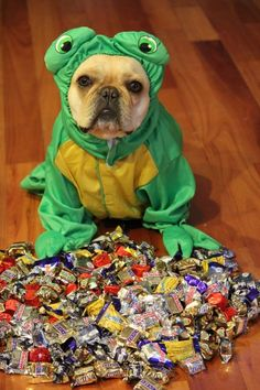 """""""Hi, I'm Piggy the French Bulldog. This is all My Halloween Candy, and NO You can't have any!"""""""