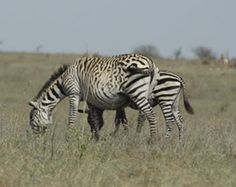 For Wild Zebra ~ It's All About The Spots