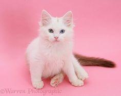 Birman x Ragdoll kitten on pink background