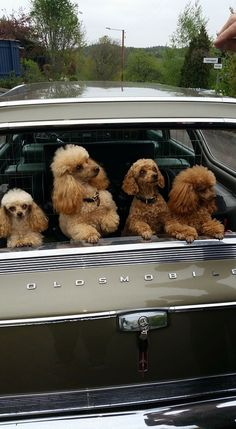 Awwwwww!!!I absolutely love all Poodles; especially the Standards!!