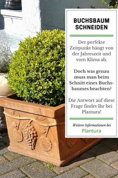 die besten 25 buchsbaum schneiden ideen auf pinterest buchs schneiden boxwood topiary und. Black Bedroom Furniture Sets. Home Design Ideas