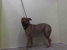 TO BE DESTROYED 12/28/13 Manhattan Center STUDDA  A0987630 Spayed female brown and white pit  mix  2YRS  SEIZED 12/17/13 STUDDAH  is so very frightened and it shows with her rescue only rating. She's 2 yrs  50 lbs and ALREADY SPAYED. This poor baby is so scared and confused. Owner said she was aggressive (abuse? neglected trainning? poorly socialized?). Lets not allow Studda to be a victim of her owner's failings. She needs a loving, patient home where she can learn to trust again.  :)…