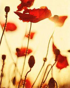 Red Poppy Print: Naturfotografie, Red Poppies Nr. 2 8 x 10 Fine Art Fotografie noch leben, Blumen Fotografie Botanischer Kunstdrucke
