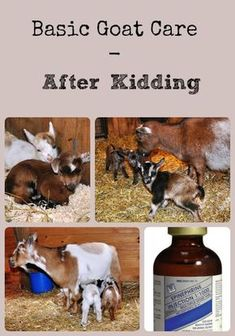 Description of the steps that should be taken in caring for the goat kids and doe after the doe freshens via Better Hens and Gardens