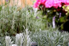 Lavender Silver Mist - One of the most beautiful English Lavenders, the flowers are pure sky blue and continue over an especially long season, with silvery aromatic foliage. Compact and marvellously fragrant in bloom and leaf, its a must have for the sunny garden H 45cm. www.thepavilion.ie