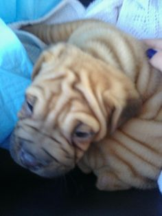 The day we brought Caleb home! Shar Pei, Bring It On, Dogs, Animals, Animales, Animaux, Pet Dogs, Doggies, Animal