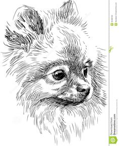 Pomeranian Puppy Sketches | Stock Photography: Portrait of cute dog
