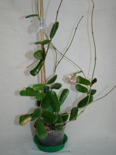 Hoja rotundiflora