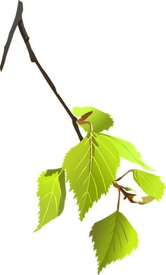 Abedul, Rama, Hojas, Planta, Naturaleza, Árbol