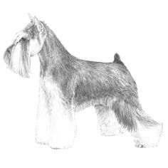 Miniature Schnauzer Breed Standard Illustration: The Miniature Schnauzer is a robust, active dog of terrier type, resembling his larger cousin, the Standard Schnauzer, in general appearance, and of an alert, active disposition. Faults - Type - Toyishness, ranginess or coarseness.
