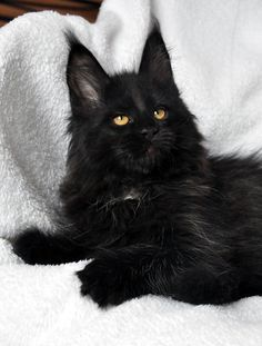Black Kitten.  Look at the ears.  Looks like there could be a bit of Lynx in his system!