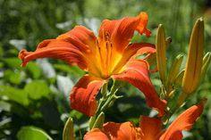 "'Heavenly Orange Blaze' Gossard, 2009. SOLD OUT 4/19/15 $10 DF. height 41"", bloom 8"", season E, Dormant, Tetraploid, Fragrant, 20 buds, 4 branches, UFo Cascade , Bright orange with a yellow orange starburst throat. Hot orange UF that rocks the early bloom season. Good northern performer."