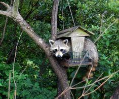 raccoon in a bird_feeder