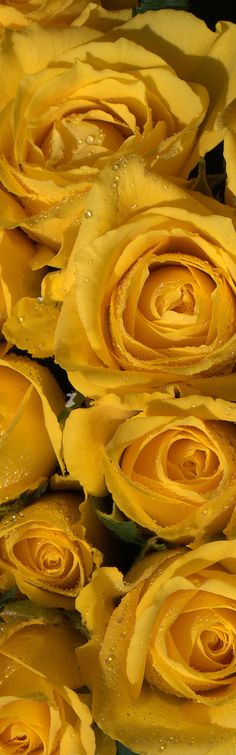 Yellow Roses .. For you sweet Andrea .. We miss you .. Stay safe lovely lady.