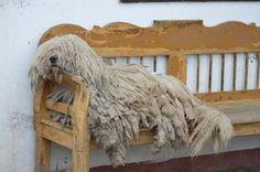 """Essentail Hungary: Puli, a Hungarian breed, laying on a """"lóca"""" ph: Ruszné Rácz Ildikó"""