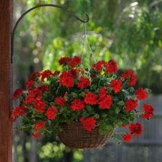 Scarlet Red Ivy Geranium means 'Recall or Comfort' in the Victorian Language of Flowers.