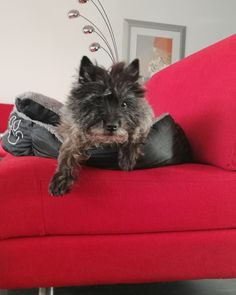Cairn Terriers, Cairns, Dogs, Animals, Animales, Animaux, Pet Dogs, Doggies, Animal