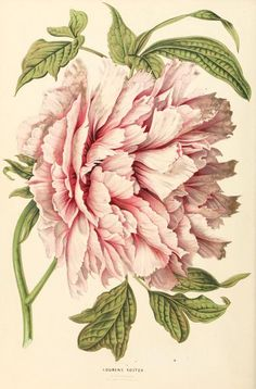 Flowers peonies drawing botanical illustration 48 Ideas for 2019 Peony Illustration, Illustration Botanique, Floral Illustrations, Pattern Illustration, Vintage Botanical Prints, Botanical Drawings, Vintage Prints, Vintage Botanical Illustration, Botanical Flowers