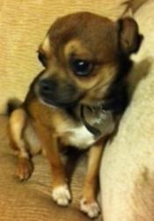 Pug/Chihuahua, those EYES!