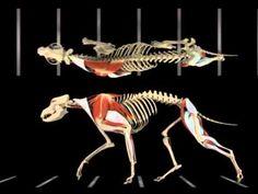 ▶ Dog In Motion 09 - 2 - YouTube Dog Anatomy, Animal Anatomy, Animal Sketches, Animal Drawings, Animal Movement, Dog Skeleton, Dog Spa, Fox Dog, Sketches Tutorial