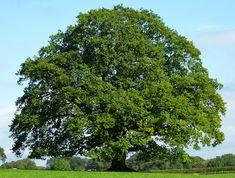 Oak - Quercus robur (UK, Europe, Asia Minor and North Africa)