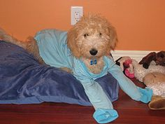 time for good goldendoodles to go night night:)
