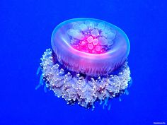 HD обои Crown Jellyfish 1600 x 1200, 3d картинки