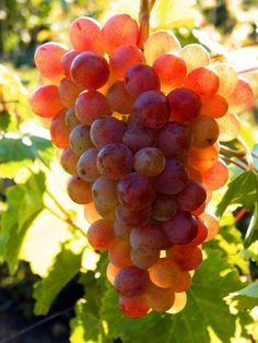 grapes /  uvas